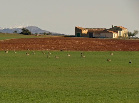 Avutardas. Foto: Rafa Torralba