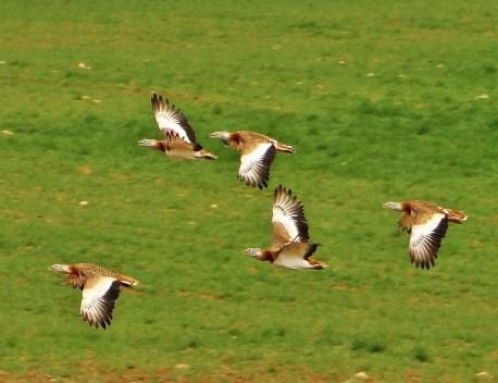 Avutardas en vuelo. Foto: Rafa Torralba