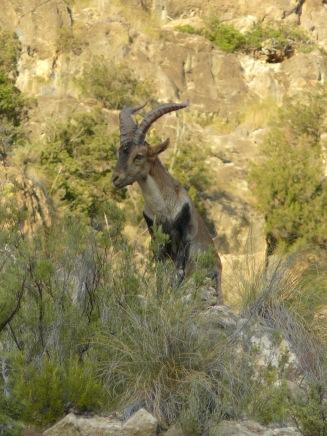 Macho de cabra montes en el Parque Natural de la Hoces del Cabriel (Virgilio Beltrán)