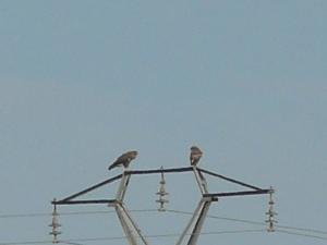 Busardo ratonero. Se observa la diferencia de tamaño entre hembra (izda.) y macho (dcha.)
