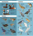 Guía aves acuáticas Tundra