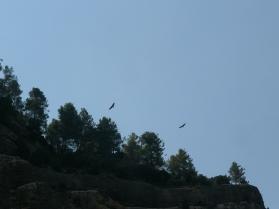 Buitres leonados sobre el río Bergantes