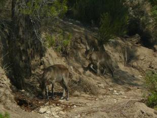 Cabras montesas en el río Bergantes (Els Ports)