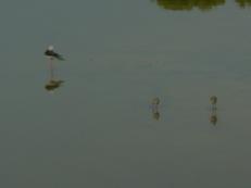 Ciguüeñuela con sus crias e el racó de l'Olla (Albufera)