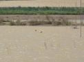 Limícolas en la laguna de San Benito