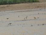 Diversidad de limícolas en la laguna de San Benito