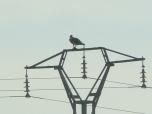 Águila pesacdora
