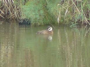 Malvasía cabeciblanca White headed Duck