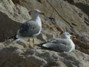 Gaviota patiamarilla. Yellow Legged Gull